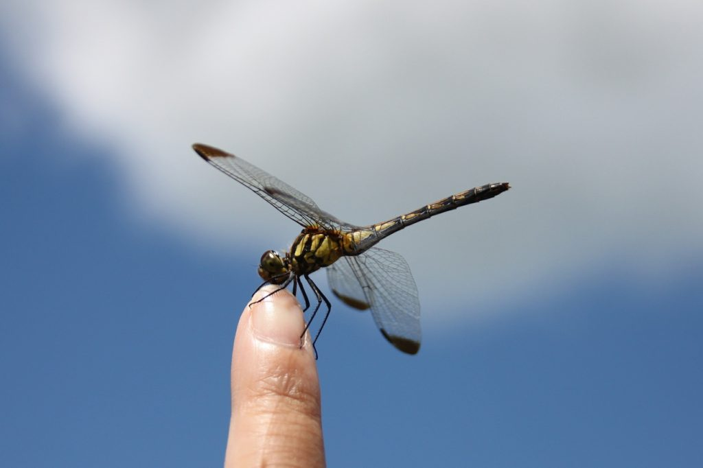dragonfly-451756_1920